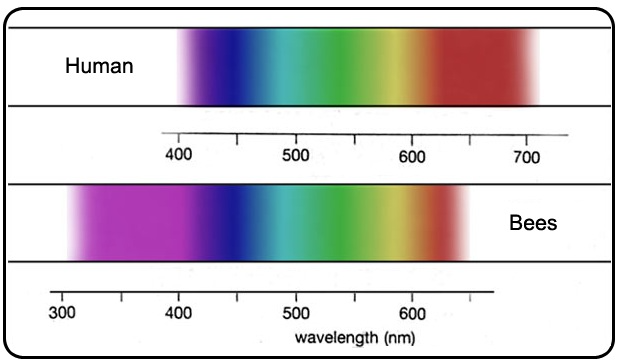 Color spectrum visible to the human eye (top) compared to bee vision (bottom).