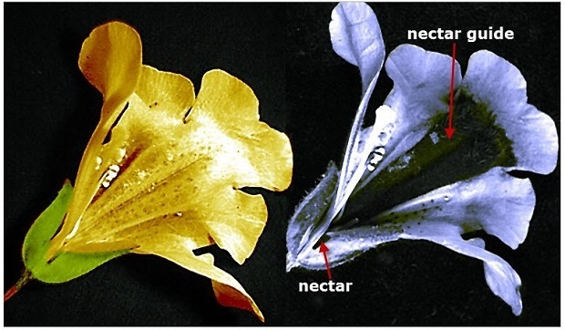 """Images of a Mimulus flower in visible light as seen by humans (left), and ultraviolet light as seen by bees, butterflies, and other insects (right), showing a dark strip called a """"nectar guide"""" directing pollinators to their target."""