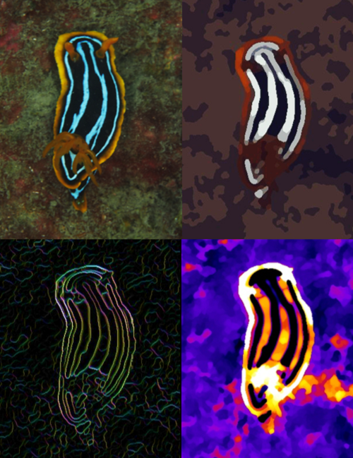 Four images of a nudibranch (sea slug) using the QCPA app. Top left: the image taken with a digital camera, top right: image as perceived by a triggerfish in 5m depth at 10cm viewing distance. Bottom left: color contrast of edges as perceived by a triggerfish. Bottom right: a heatmap of the perception of color saturation by the triggerfish.