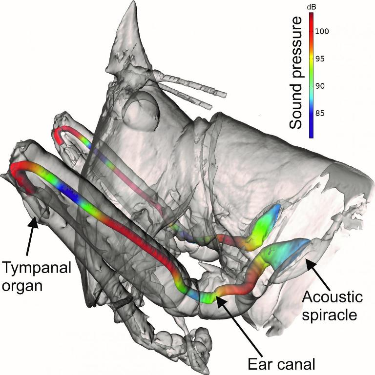 """Pictured is a diagram of the bush-cricket Copiphora gorgonensis, which are found in the Colombian rainforest, showing how the sound pressure changes inside its """"ear canal."""""""