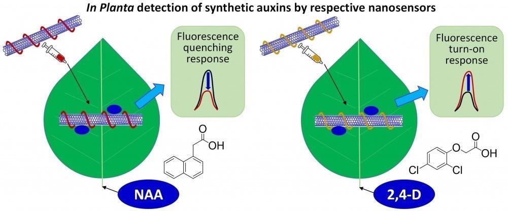 Novel Sensor can Revolutionize Screening for Herbicide Resistance in Plants.