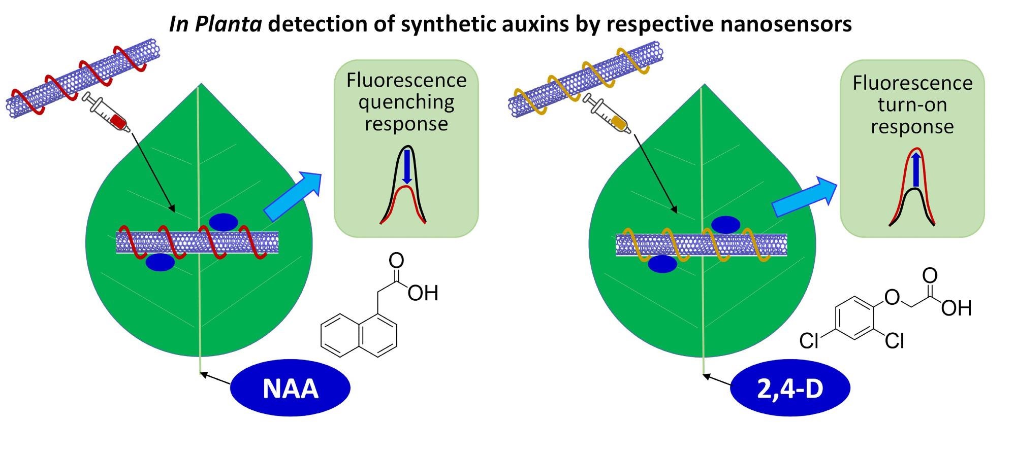 Illustration of novel in planta CoPhMoRe nano sensors for detection of synthetic auxin plant hormones