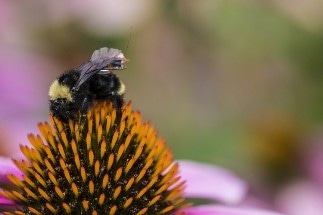Researchers Design First Sensor Package that Can be Fitted on Bees
