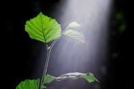 Novel Plant Nanobionic Optical Sensor can Monitor Arsenic Levels in the Soil